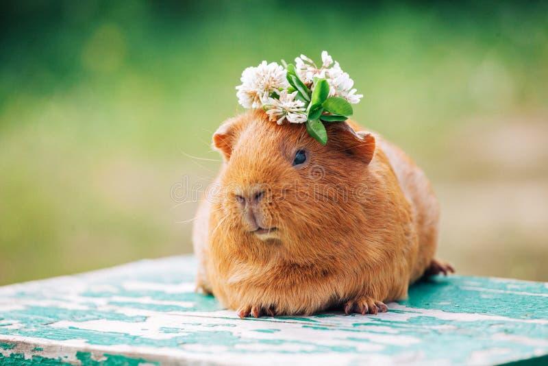 Orange guinea pig. With a wreath of clover on the head stock photos