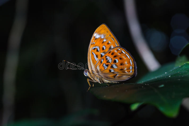 Orange Harlequin or Larger Harlequin butterfly royalty free stock photos
