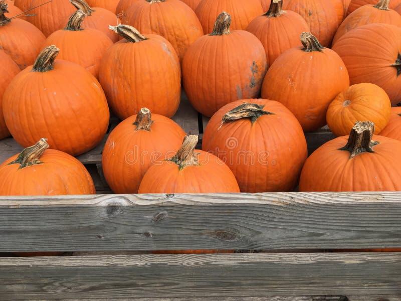 Orange Harvest royalty free stock image