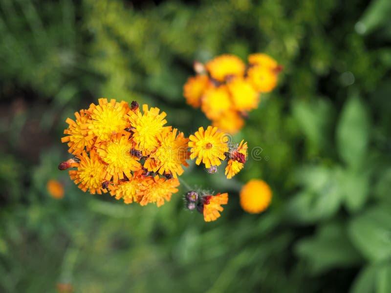 Orange hawkweed flower in bloom stock photos