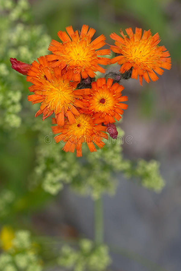 Orange Hawkweed arkivfoto