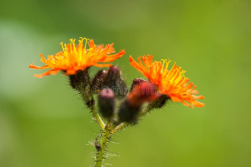 Orange Hawkweed - blommaklunga royaltyfri foto