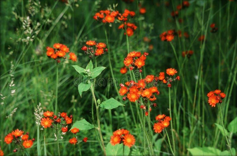 Orange Hawkweed i grön äng royaltyfri foto