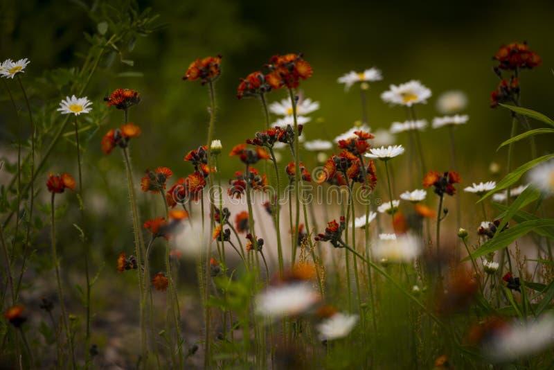 Orange hawkweed i nordliga Wisconsin royaltyfria bilder