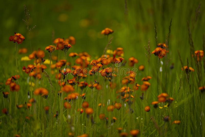 Orange hawkweed i nordliga Wisconsin royaltyfria foton