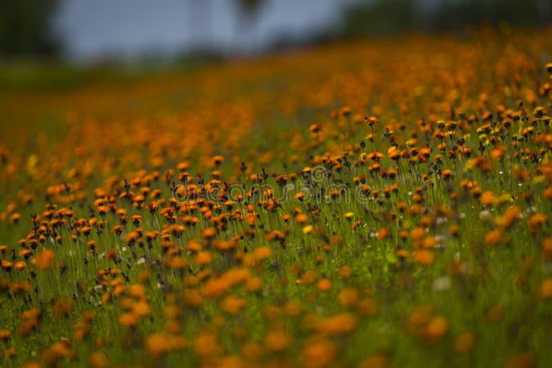 Orange hawkweed i nordliga Wisconsin arkivbild