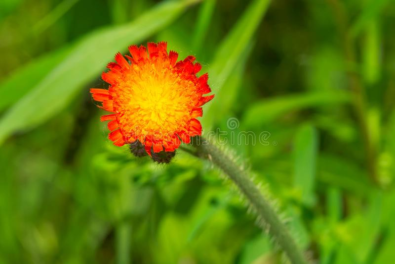 Orange hawkweed - Pilosellaaurantiaca royaltyfria foton