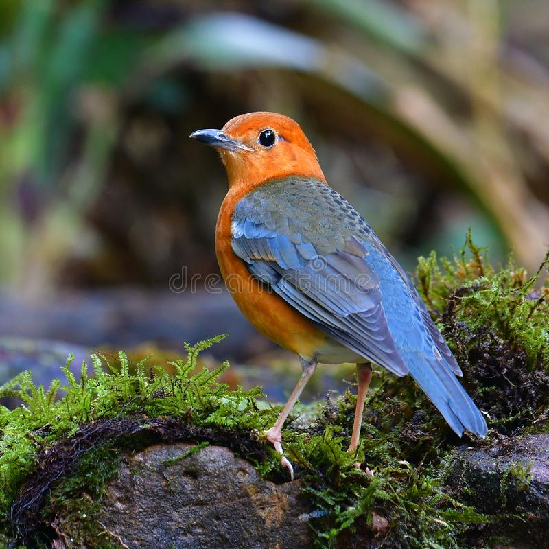 Orange-headed Thrush Bird. Beautiful colorful bird, Orange-headed Thrush Geokichla citrina standing on the log, southern of Thailand royalty free stock photos