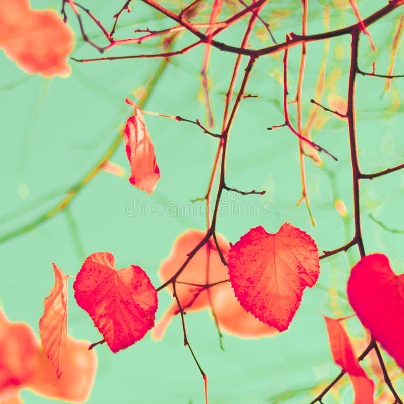 Orange hearts. Orange heart-shaped leaves in a tree in autumn royalty free stock image
