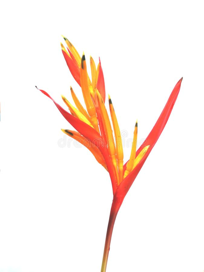 Orange heliconia flower isolated on white background. Orange. Tropical, flora, bloom, floral, nature, freshness, colorful, natural, leaf, plant, gardening royalty free stock photos