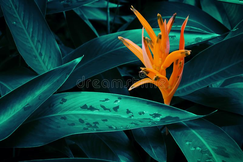 Orange Heliconia Flower met Lush Dark Tropical Foliage Background royalty-vrije stock foto