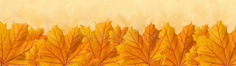 Orange Herbst-Ahornblätter, Panorama stockfoto