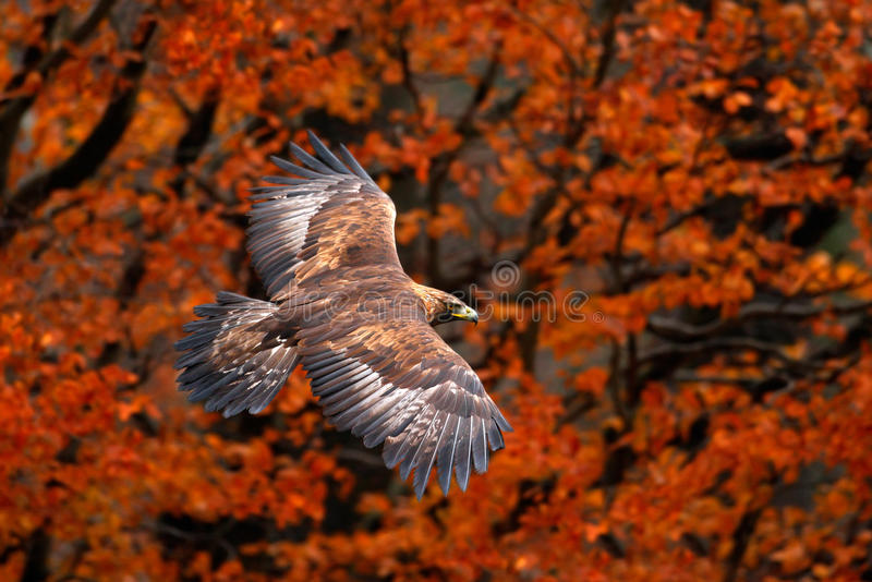 Orange Herbstszene mit Raubvogel Stellen Sie Flug Seeadler, Haliaeetus albicilla, Vögel mit Herbstwald im backgroun gegenüber stockbild