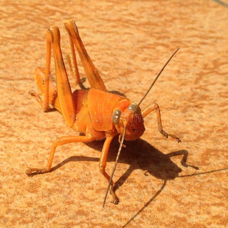Orange Heuschrecke lizenzfreies stockbild