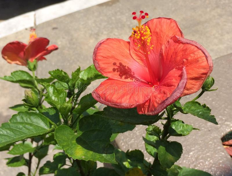 Orange Hibiscus stockbilder