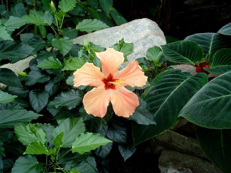 Download Orange Hibiscus stock image. Image of bloom, peach, blossom - 648717