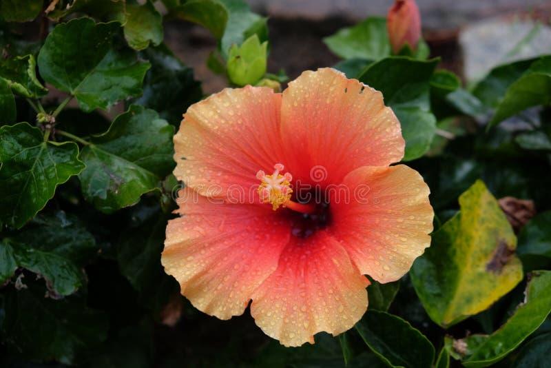 Orange Hibiscus stockfotos
