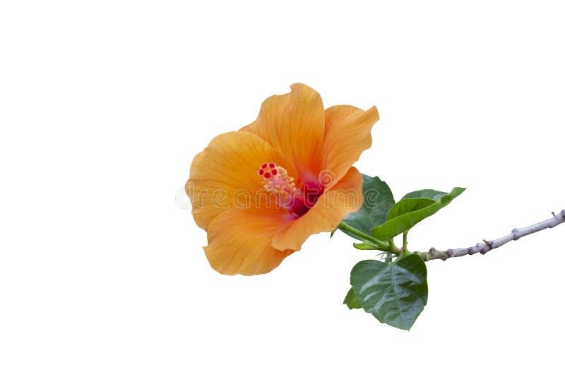 Orange hibiscus flower, chinese rose or chaba flower isolated on white background. royalty free stock image