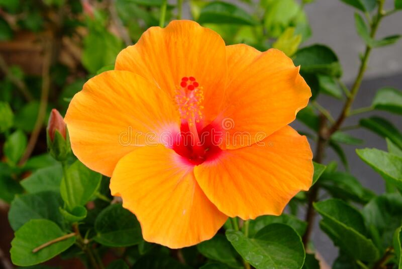 Orange hibiscus flower in garden. Note  select focus with shallow depth of field royalty free stock image