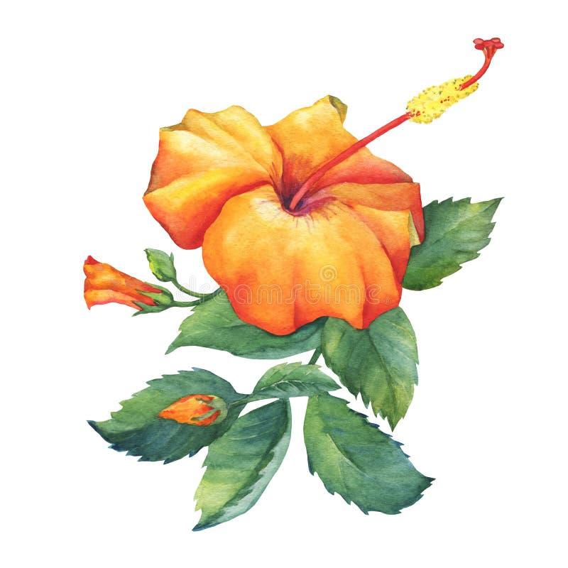 Orange Hibiscus flower. royalty free illustration