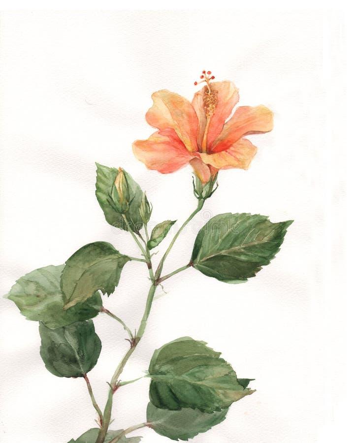 Orange hibiscus flower watercolor painting royalty free illustration