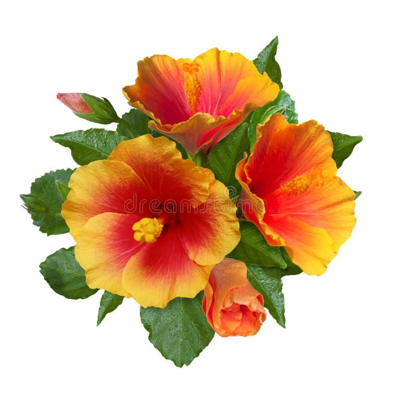 Free Orange Hibiscus Flowers And Buds Stock Photo - 71312760