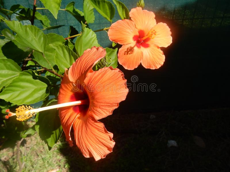 Orange hibiscus flowers under the sun royalty free stock images