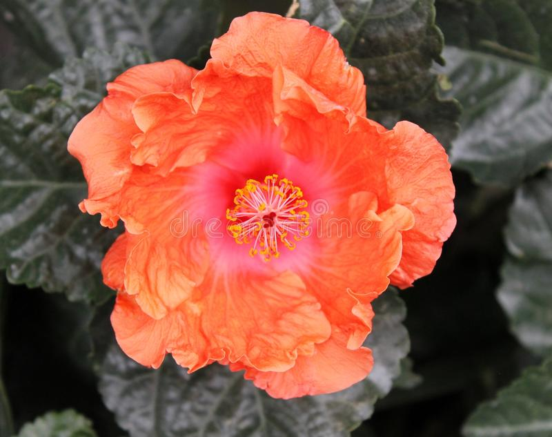 Orange Hibiscus stock images