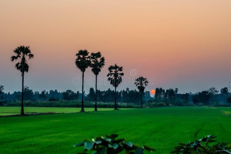 Orange himmel med solnedgång över grön risgård arkivbild