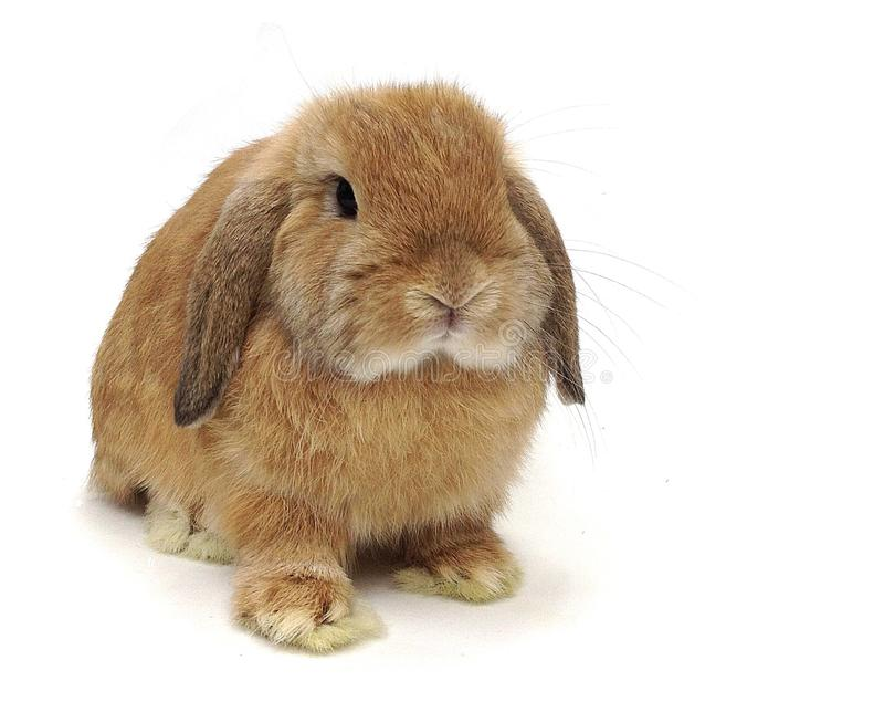 Cute Orange lop rabbit. Cute young holland lop rabbit isolated on white background royalty free stock photo