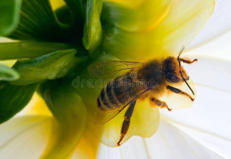 Orange honeybee. Honeybee in evening relaxation underside flower stock image