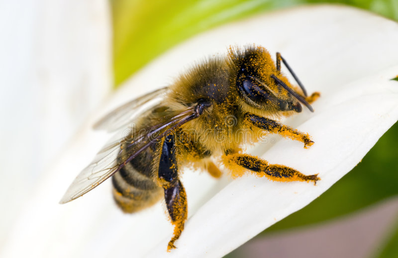 Orange honeybee. The bee is full of pollen from the flower royalty free stock photo