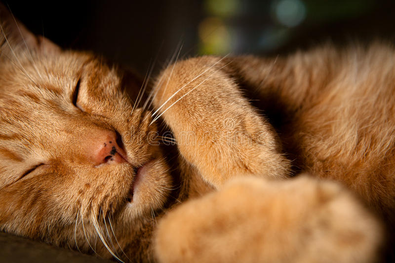 Orange Housecat Sleeping. Happy orange housecat sleeping. Image orientation is horizontal and there is copy space royalty free stock photography