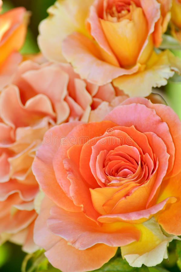 Orange hybrid tea rose royalty free stock image