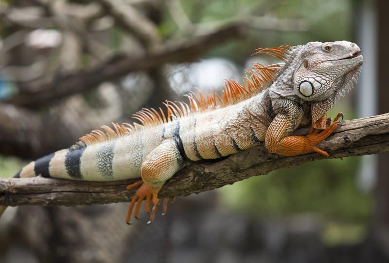 Orange iguana. Sleep on the branch royalty free stock photos