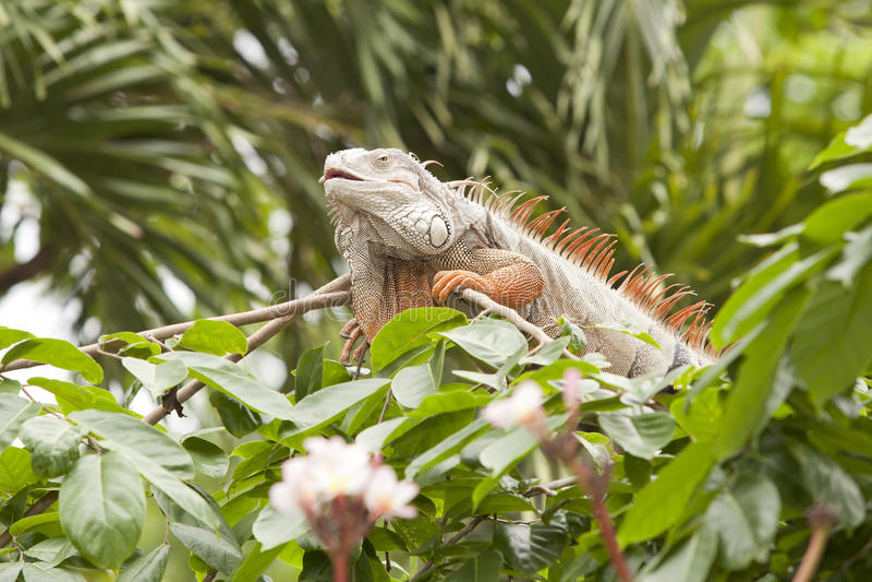 Orange iguana stock photo