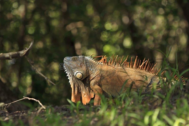 Orange Iguana with Dewlap royalty free stock photos
