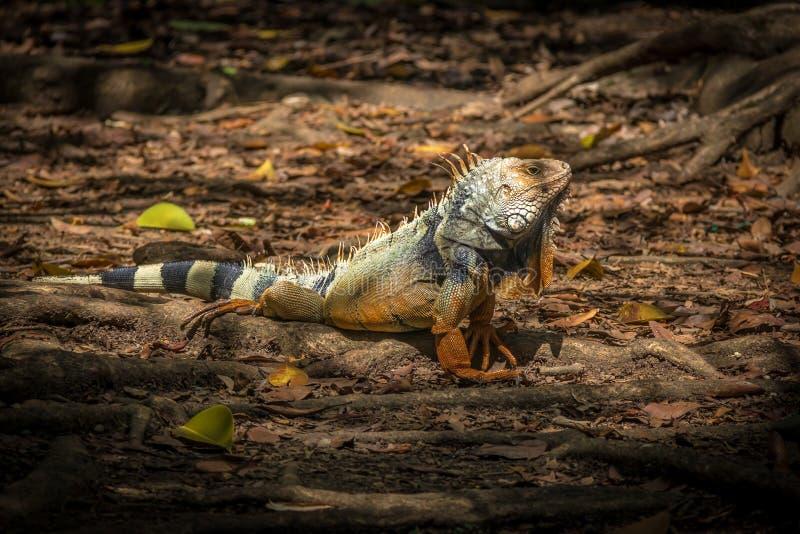 Orange iguana royalty free stock images