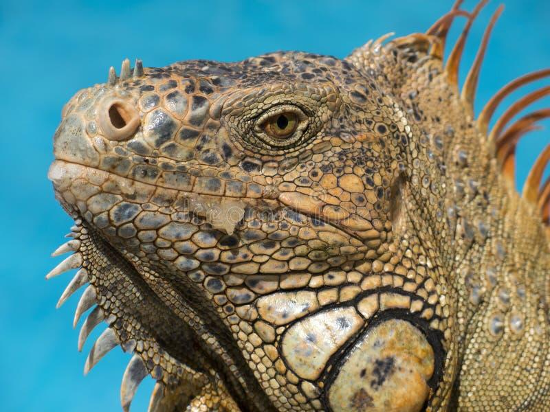 Orange iguana by the pool stock photo