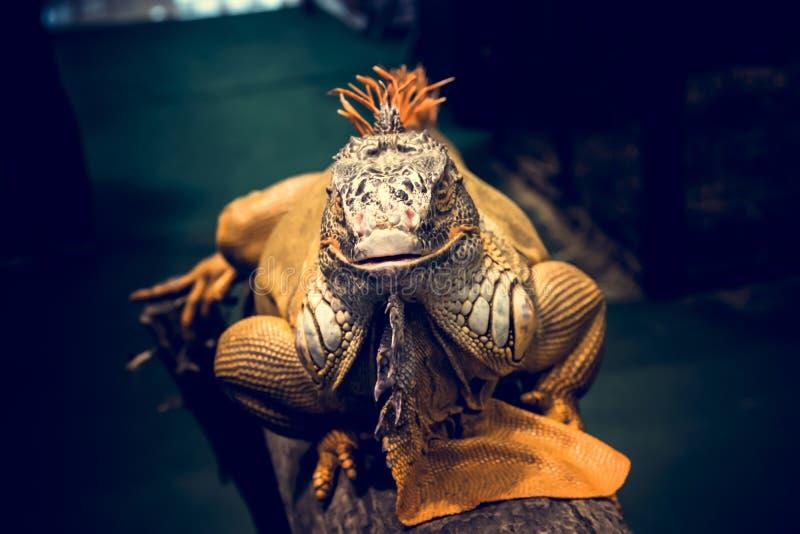 Orange Iguana. royalty free stock photography
