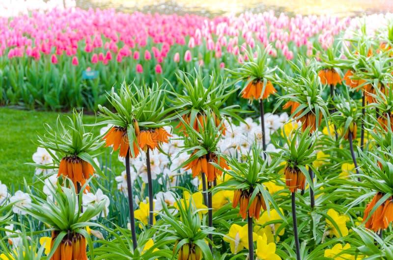 ` Orange impérial de couronne ou de Kaiser du ` s de couronne de Fritillaria d'Imperialis au printemps de jardin de ` de Keukenho photo libre de droits