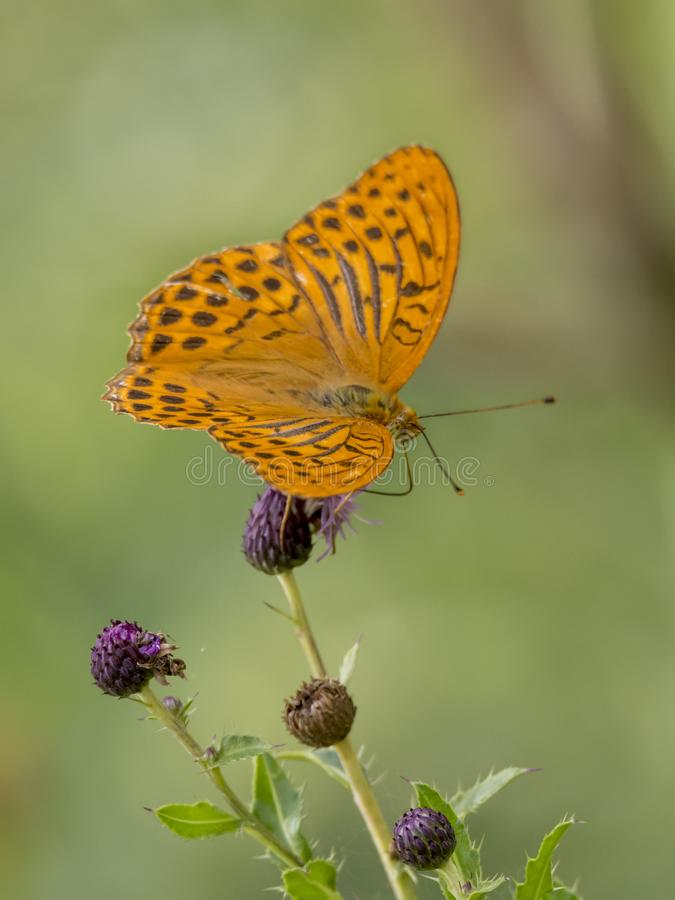 Orange imperial coat butterfly sits on a thistle blossom in front of blurred background stock photo