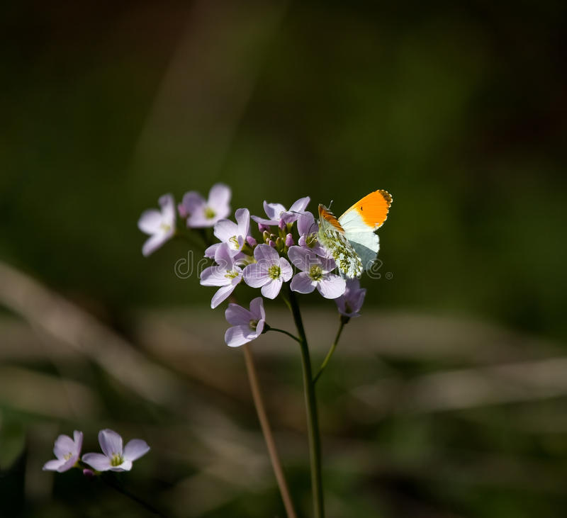 Orange-inclinez le guindineau photographie stock