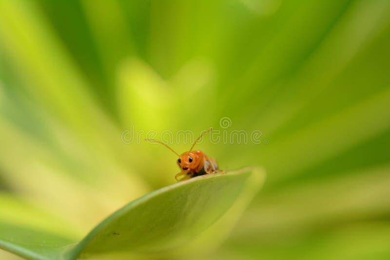 orange Insekt auf grünem Blatt lizenzfreies stockbild