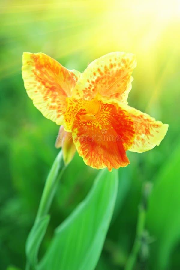 Orange iris stock photos