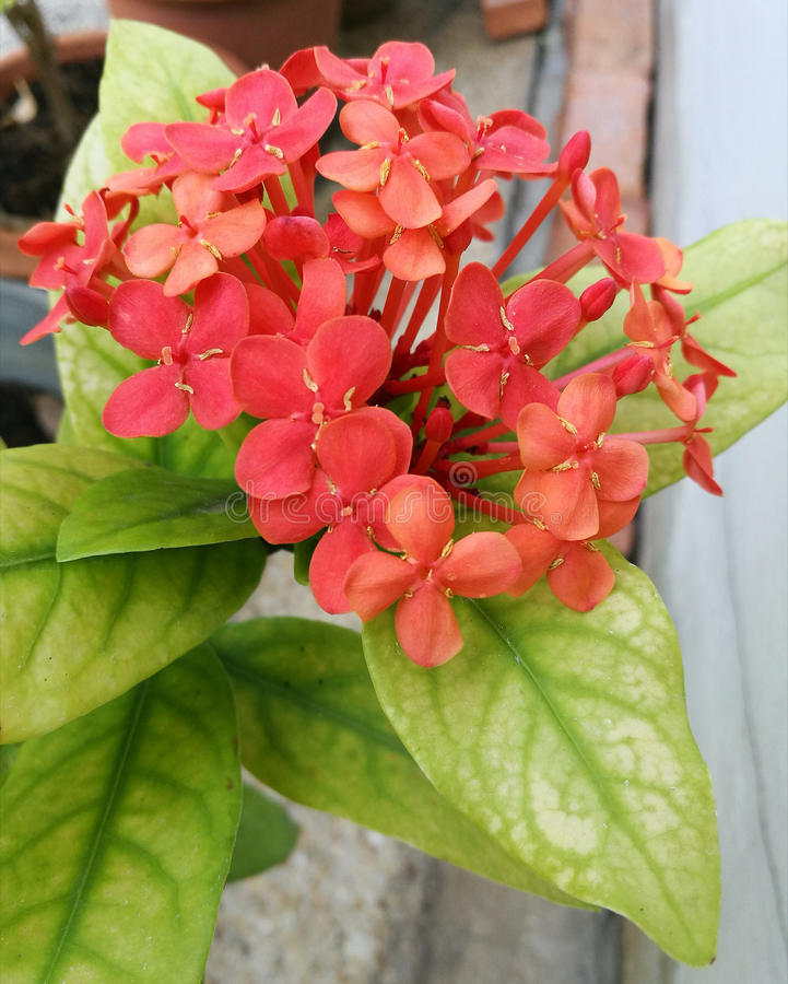 Orange ixora flowers stock photography