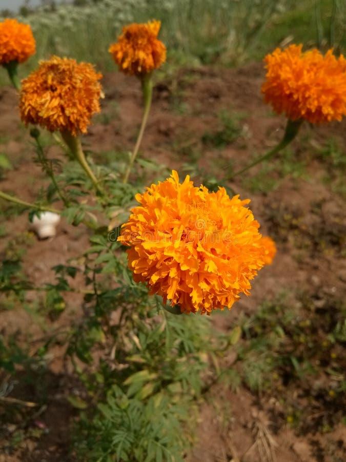 Orange Jasmin kühl stockfoto