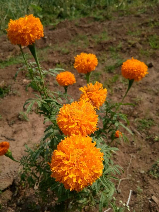 Orange Jasmin kühl stockfotos