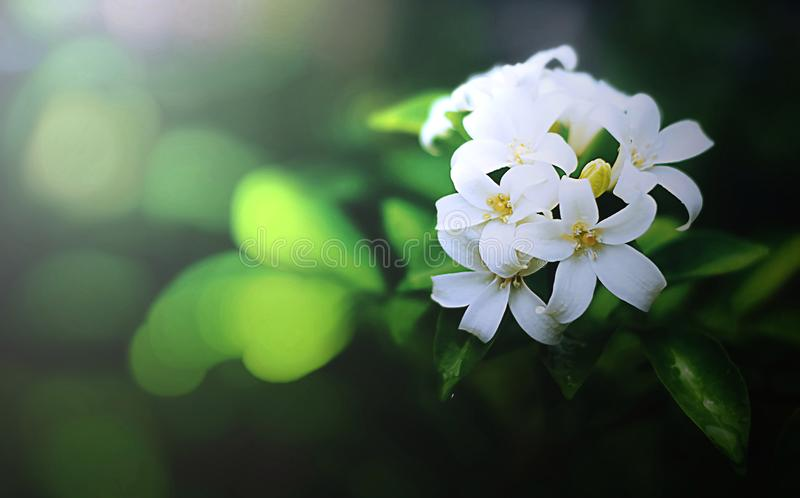 Orange jasmin som blommar i trädgården royaltyfria foton