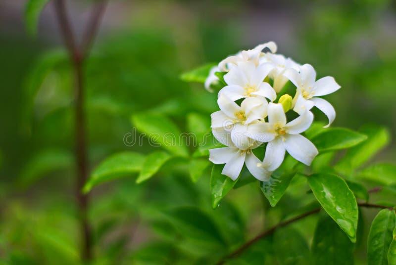 Orange jasminblomma i trädgården royaltyfri foto